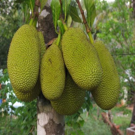 Jackfruit or Kathal